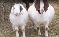 identify-goat-disease-by knowing-symptoms