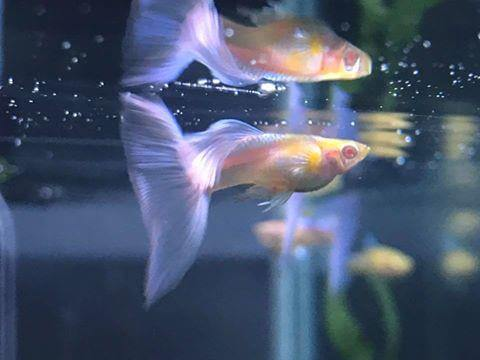 Guppy Blue Moscow Albino