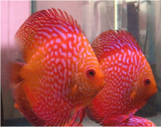 Ikan discus Red ribbon