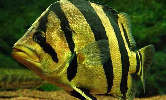 ikan tiger fish menyerupai singa