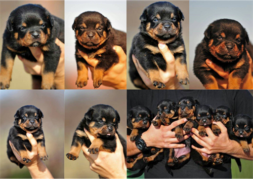 puppies_arena_krikelis_500x353
