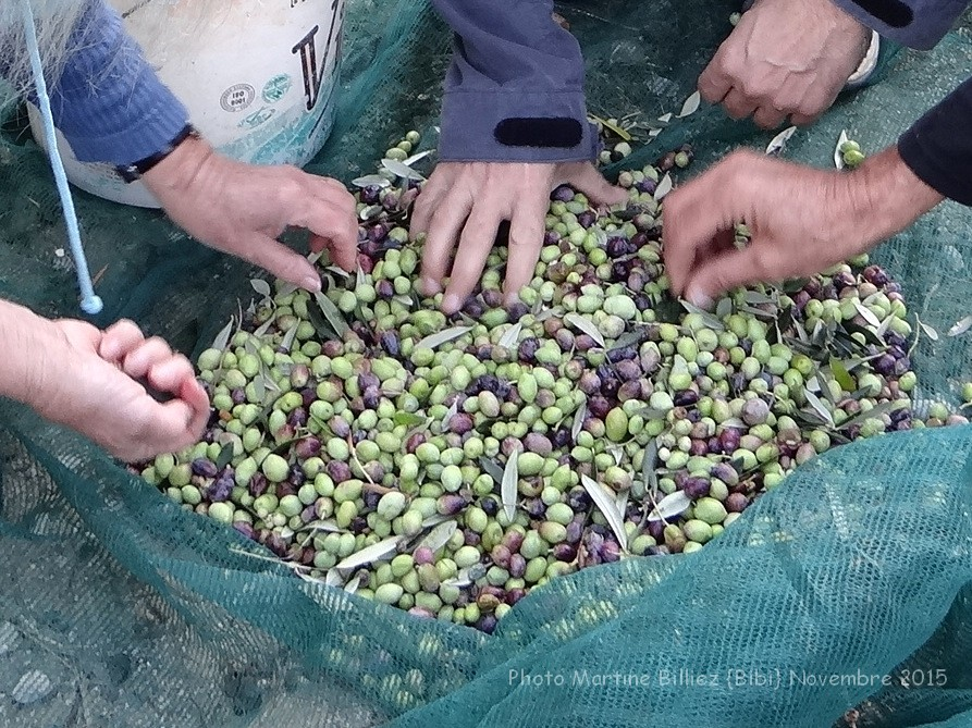 Olive harvest – Photos