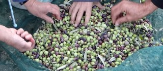 Olive harvest - Photos