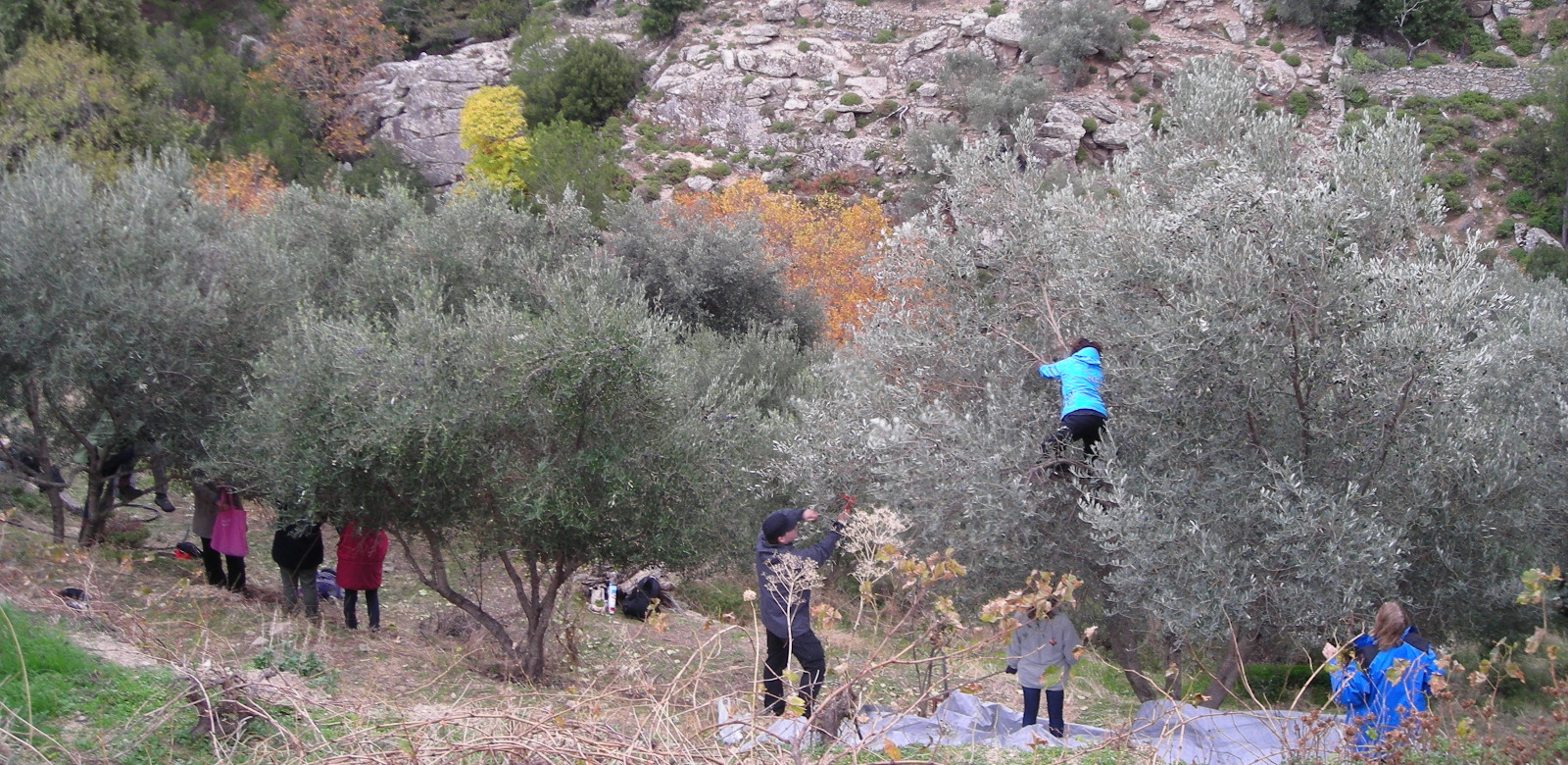 Greek language course <br> Olive harvest