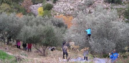 Greek language course <br> Olive harvest