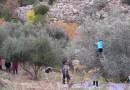 Greek language course & olive harvest