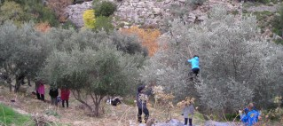 Μάθημα ελληνικής, μαζεύοντας ελιές στην Ικαρία