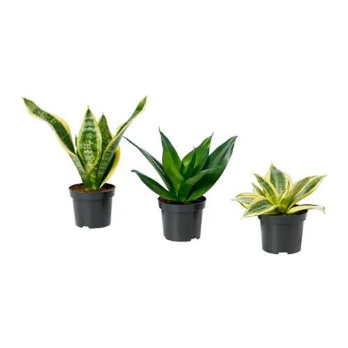 SANSEVIERIA Potted Plant IKEA