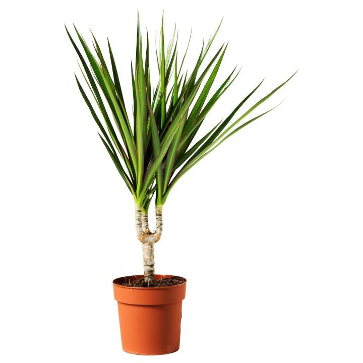 DRACAENA MARGINATA Top 5 houseplants that are impossible to kill.