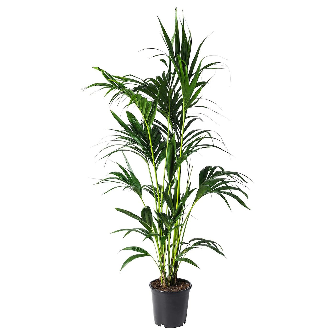 Howea Forsteriana Plante En Pot Kentia 24 Cm Ikea Suisse