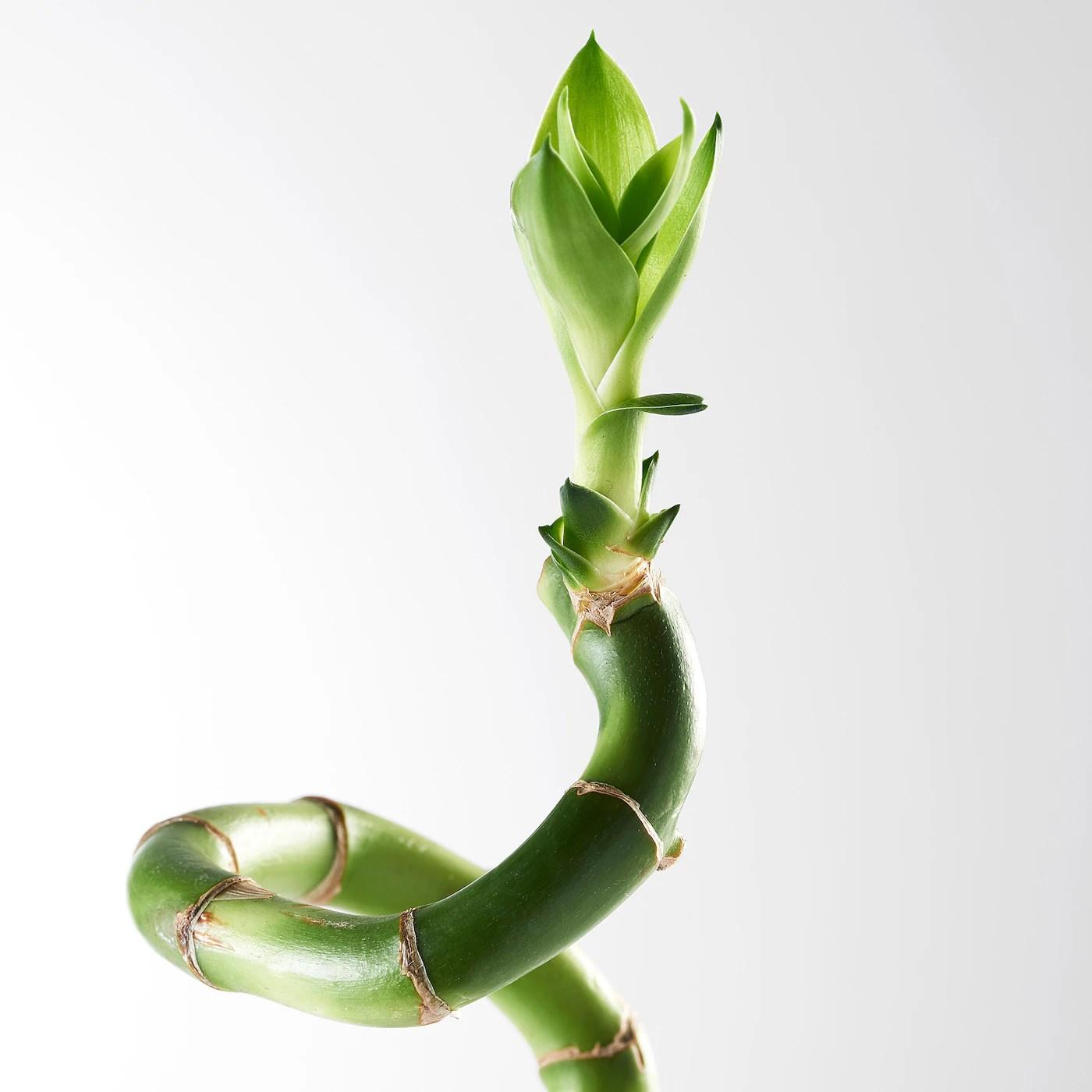 Dracaena Plante Dracaena Sanderiana Spirale Ikea Ikea