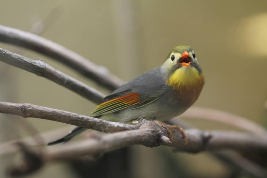 Red-billed Japanese Nightingale