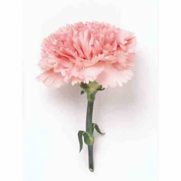 Mother's Day Best Spa Gift - Pink Carnation