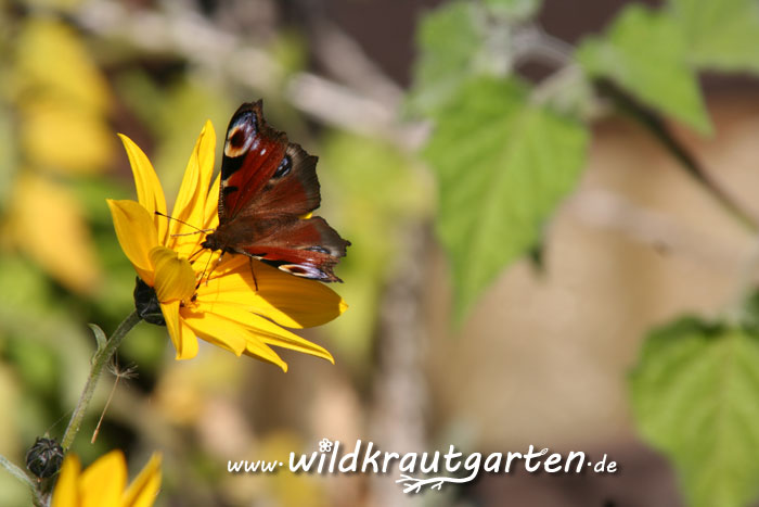Wildkrautgarten_Topinambur_Bluete