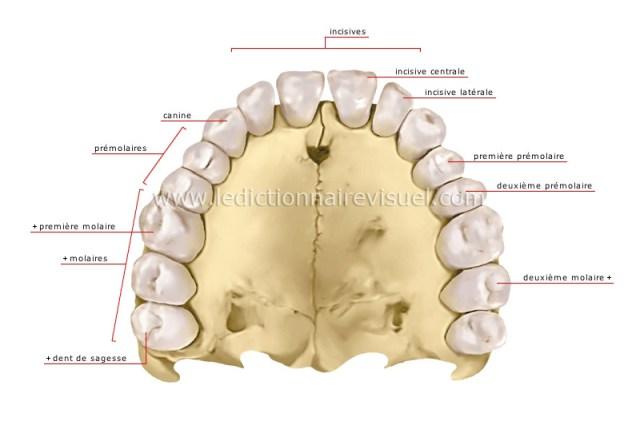"""Résultat de recherche d'images pour """"denture humaine"""""""