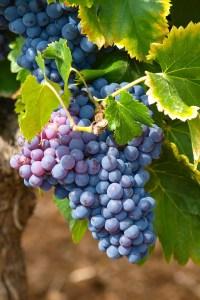 Wine Grapes harvest 2016 stolen in France