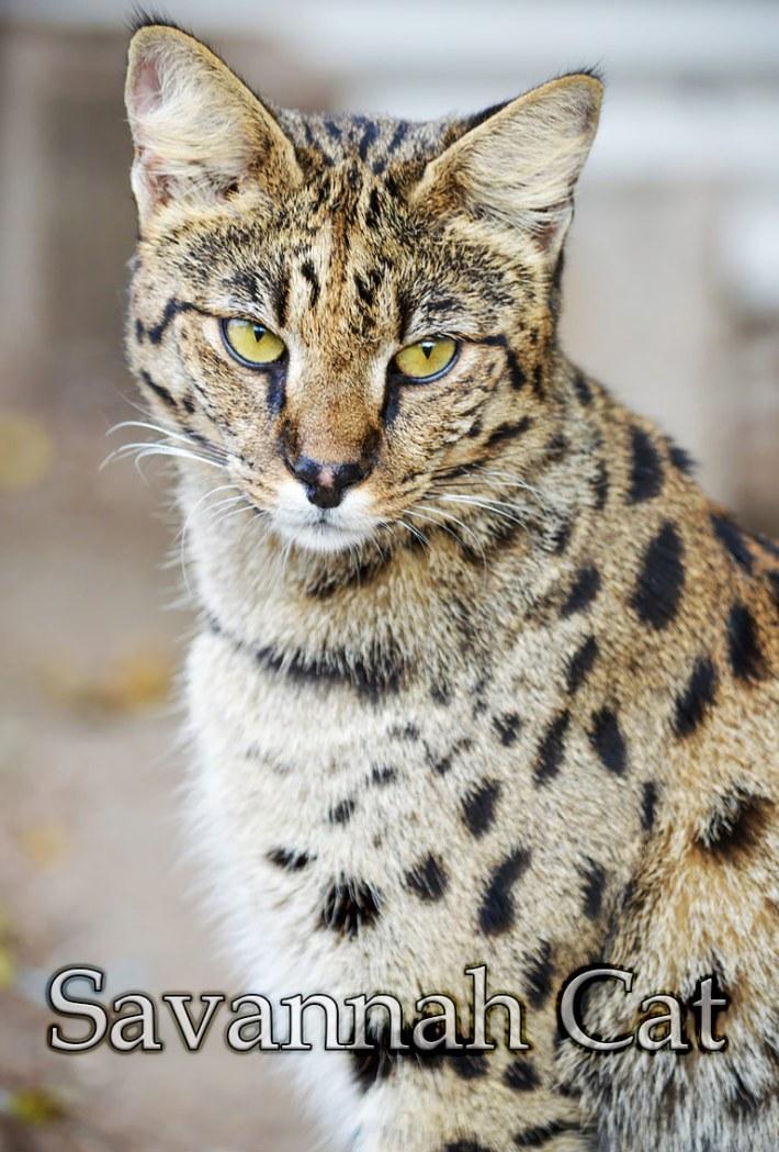 Cat Breed Info – Savannah Cat