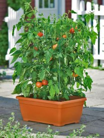 How to Start Your Tomato Container Garden
