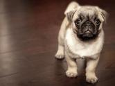 pet puppy