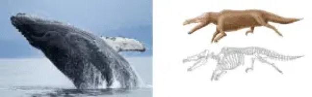 Balena e maiacetus inuus