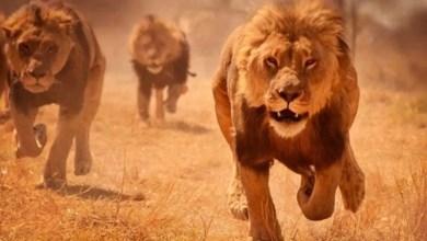 leoni mangiano bracconieri