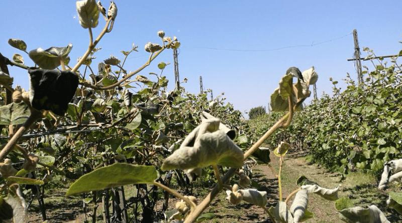 kiwi agricoltura