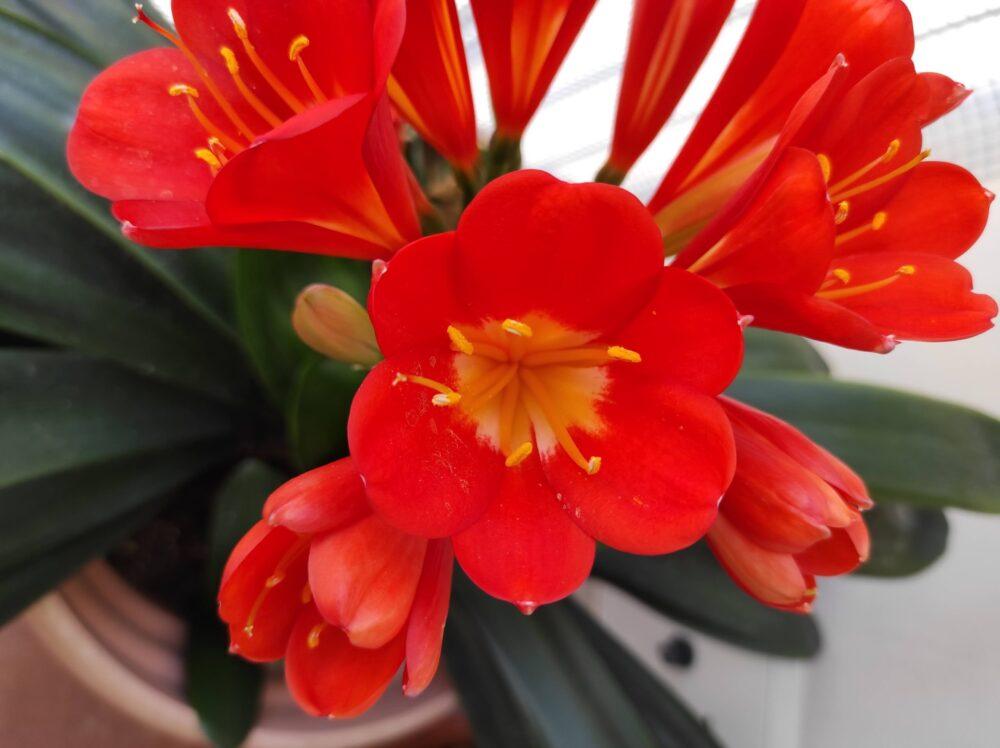 Clivia miniata per messaggi in fiore