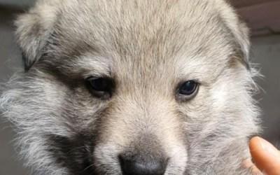 Cane Lupo Cecoslovacco Cuccioli 1 Parte