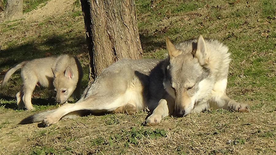 Cane Lupo Cecoslovacco comportamento nella natura