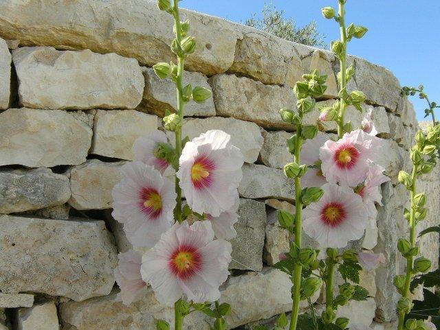Roses trémière ile de ré location confinement