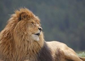 leone berbero