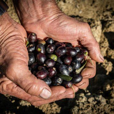 Olive mature dell'uliveto de Il Feudo Nico