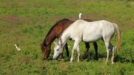 Cavalli-al-pascolo-con-uccelli