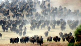 Mandria di bisonti delle Great Plains. In un secolo passarano da 70 milioni di esemplari a poche centinaia