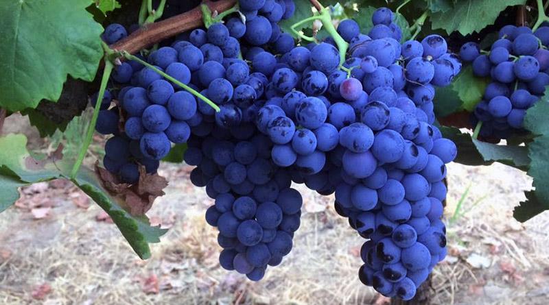 Vino Made in Sicily - Grappoli di uva Nero d'Avola