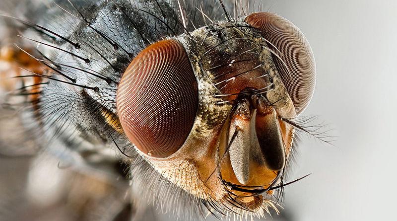 Nelle zampe delle mosche oltre 300 batteri