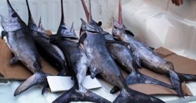 Vendita illegale di spadini nei mercati di Palermo, da Ballarò all'Acquasanta. La denuncia arriva dal Cabs, gruppo di volontari antibracconaggio