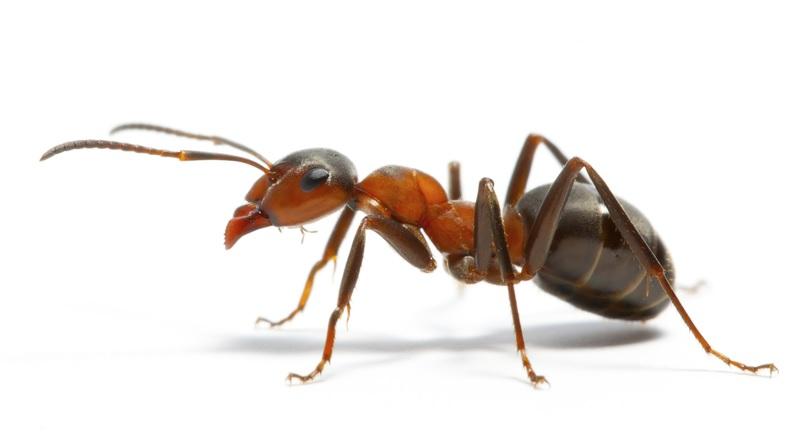 Scoperta sull'isola del Borneo una nuova specie di formica-kamikaze
