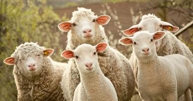 Una tossina prodotta dalle pecore potrebbe essere causa della sclerosi multipla