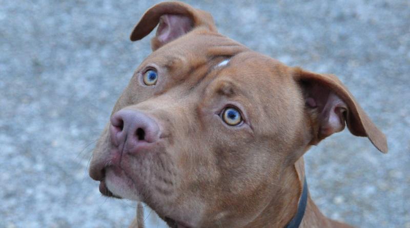 Palermo, cagnolina aggredita e uccisa da un pitbull. Morso anche per un passante