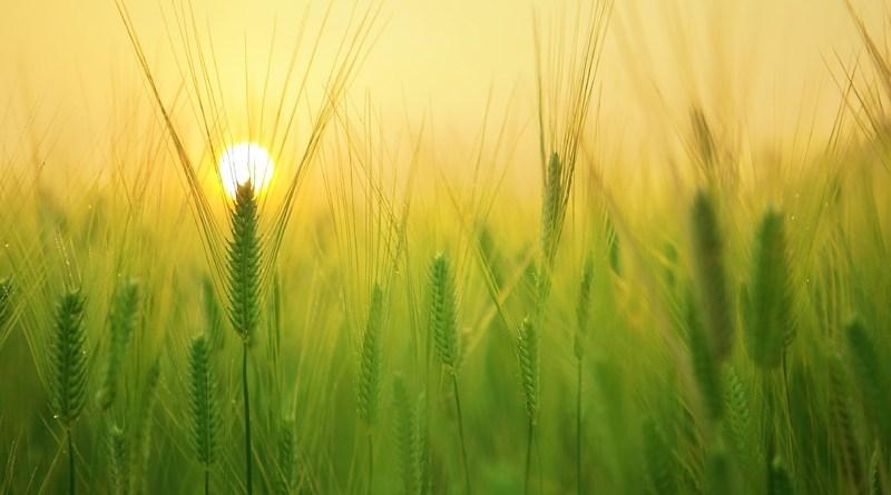 agricoltura spighe grano verde