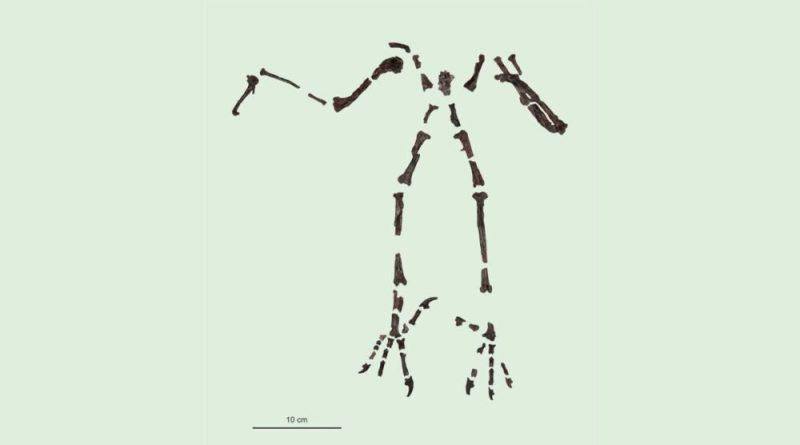 Lo scheletro dell'antico gufo