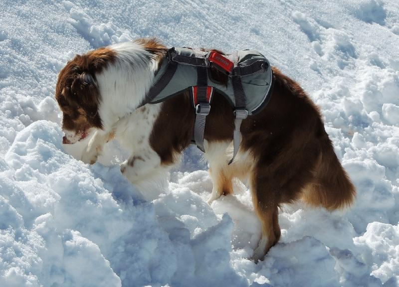 Risultati immagini per cani da soccorso