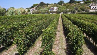 Photo of L'isola d'Ischia protagonista all'EXPO grazie ai suo vini