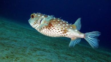 Photo of I pericoli del pesce palla tossico visti dall'esperto