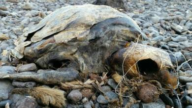 Photo of Spiaggiata morta una tartaruga marina a Cartaromana