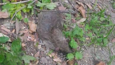 Photo of Allarme topi nella Pineta Mirtina