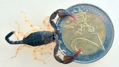 """Photo of Gli scorpioni italiani e quello napoletano: gli """"Euscorpius"""""""