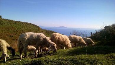 Photo of «Adotta una pecora», così si ripopolano le aree verdi dell'isola di Ischia
