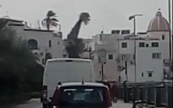 Photo of Forio, palma pericolante minaccia le abitazioni del centro